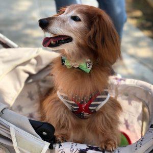 愛犬写真 ラフィー