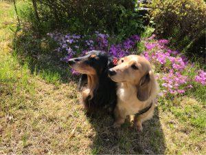 愛犬写真 ハルサエ