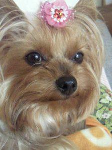 愛犬写真 チェリーちゃん