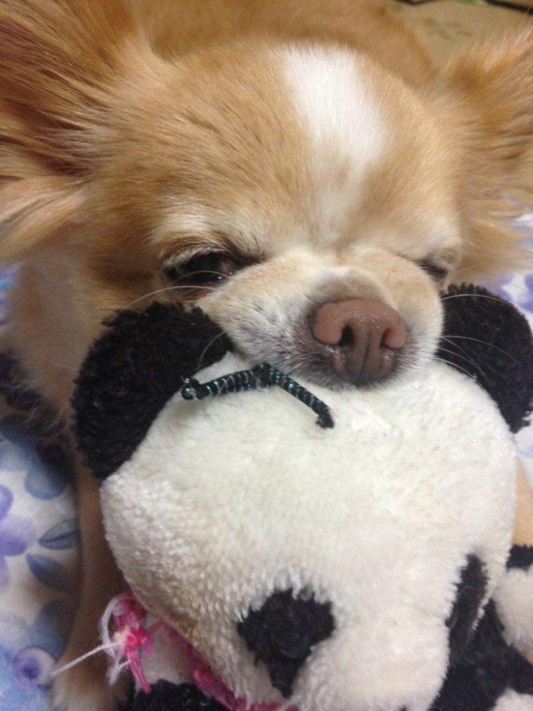 愛犬写真 チコたん