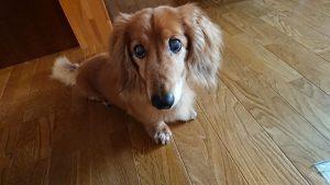 愛犬写真 スピィ