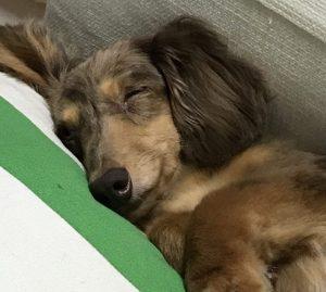 愛犬写真 チョコ