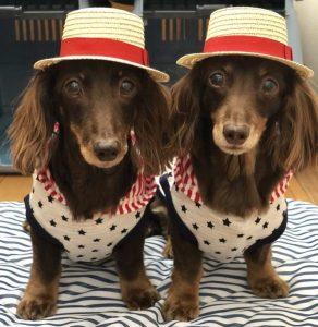 愛犬写真 チップとショコラ