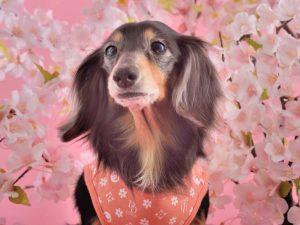 愛犬写真 ジュリア
