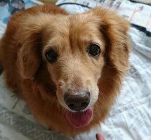 愛犬写真 ちいちゃん