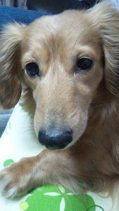 愛犬写真 はなび