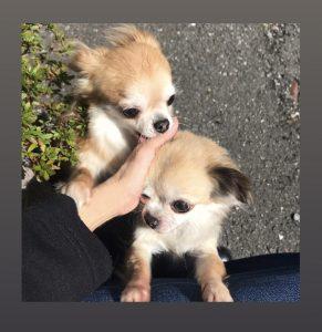 愛犬写真 エルメス&シフォン♡