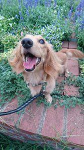 愛犬写真 リリィ
